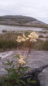 Meadowsweet Mullaghmore