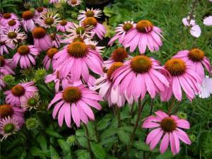 echinacea_purpurea_flower