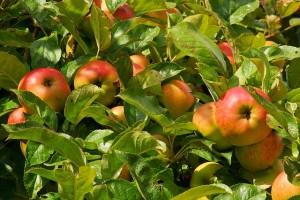 apple-tree-1610345_640